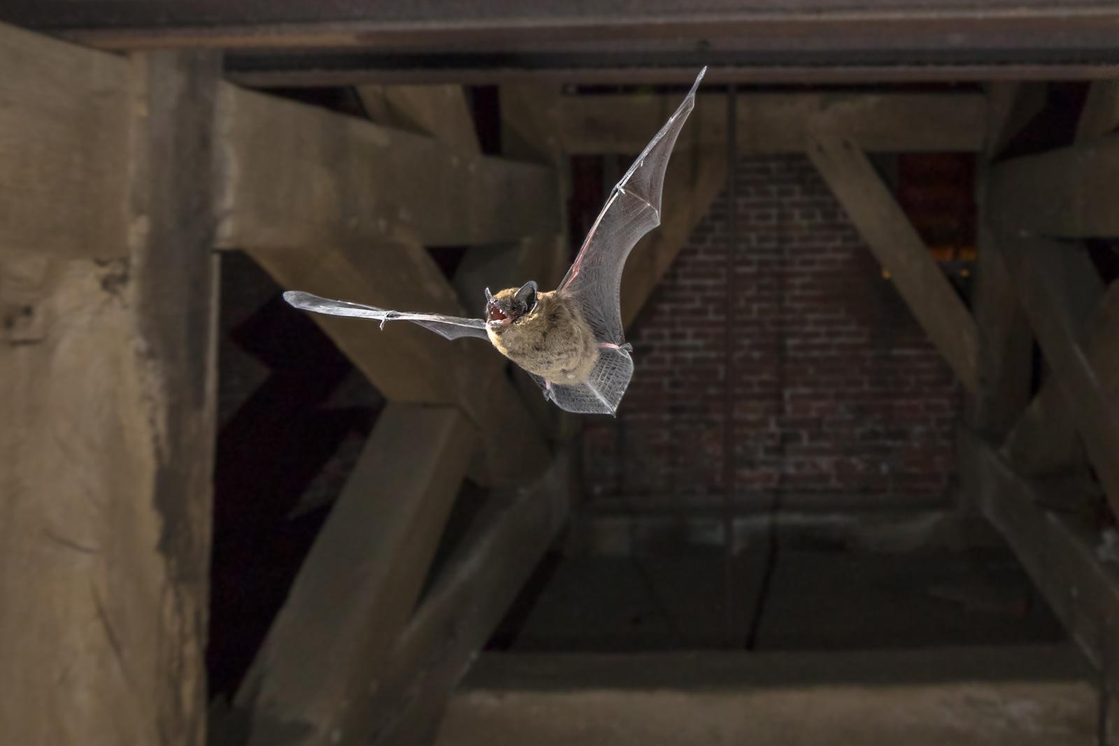 Flying pipistrelle bat in church tower