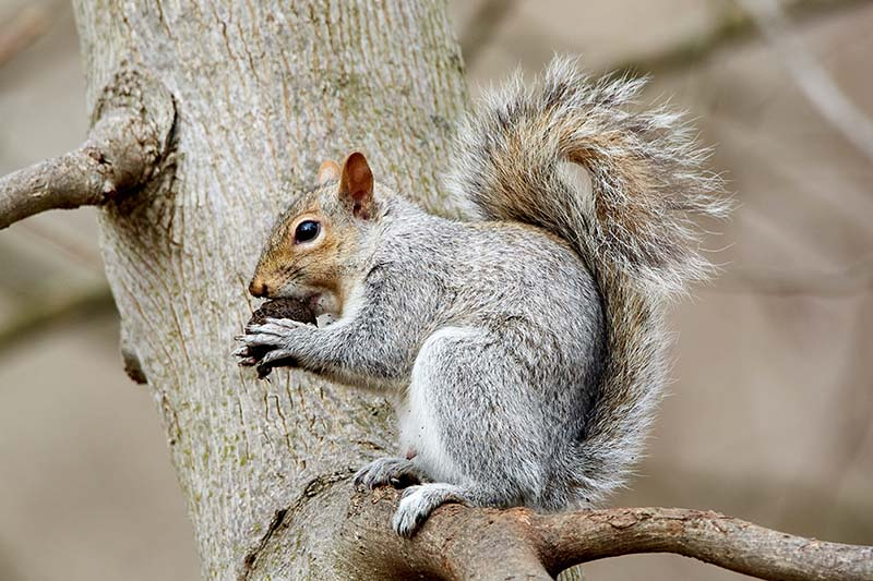 gray squirrel on tree branch
