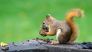 Squirrel eating nut on porch railing