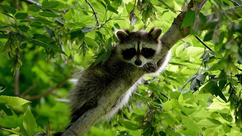 raccoon on tree branch