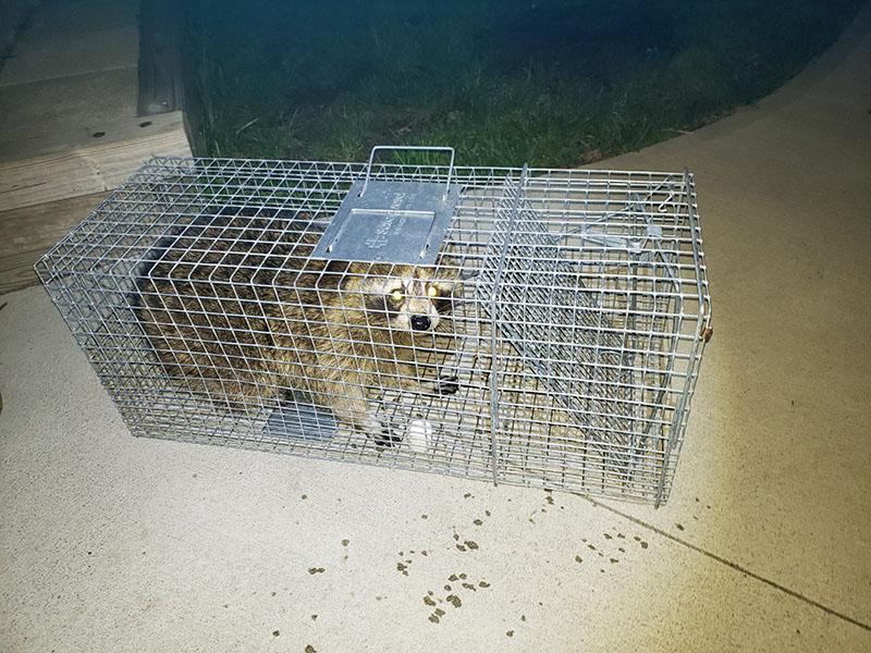raccoon in trap