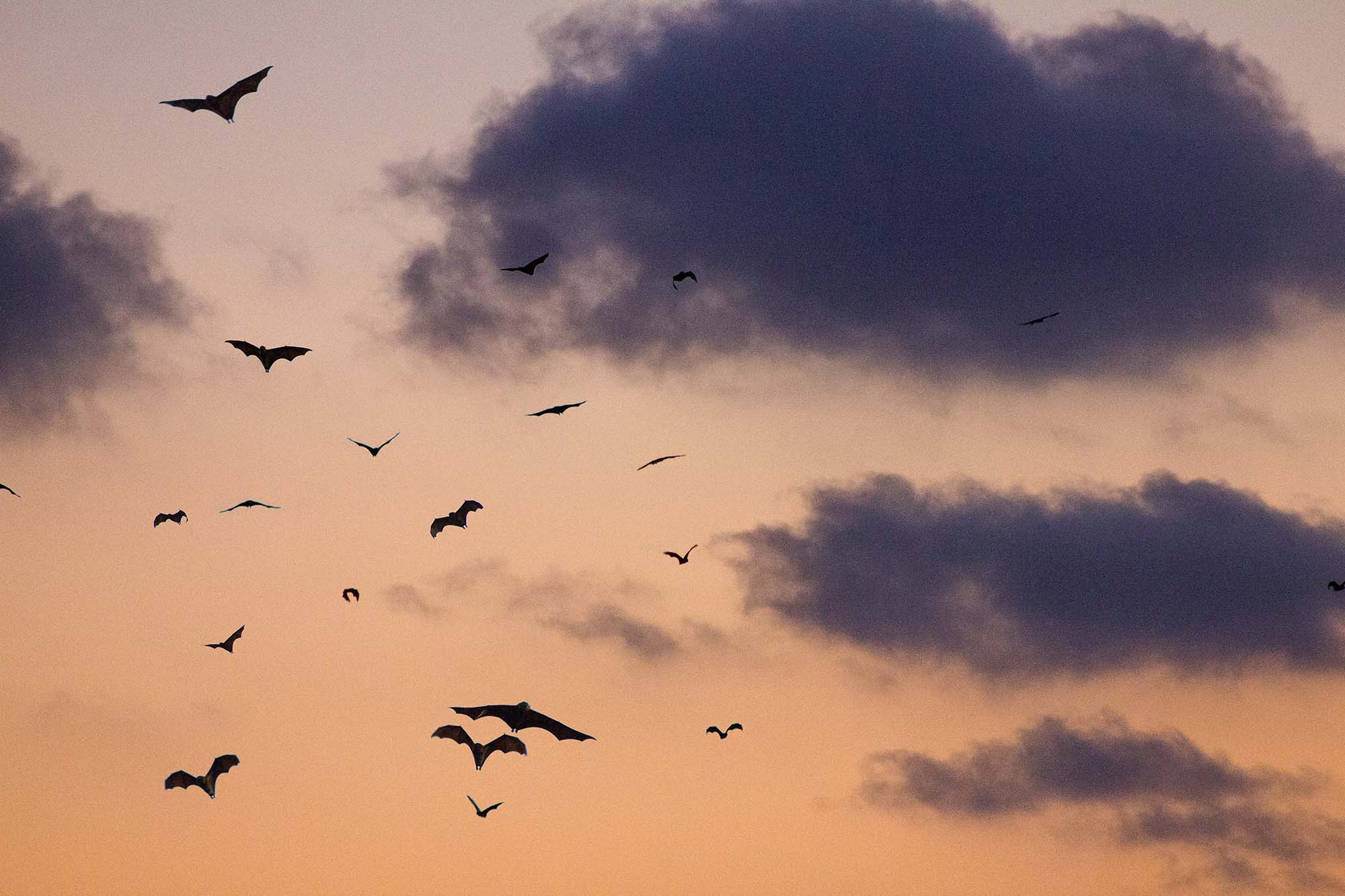 Bats flying in front of an orange sky at sunset.