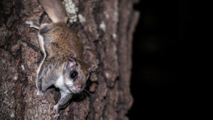 flying squirrel on tree trunk at night