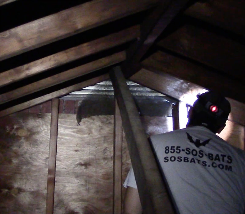 Hudson Valley Wildlife inspects a damaged attic vent in Albany, NY