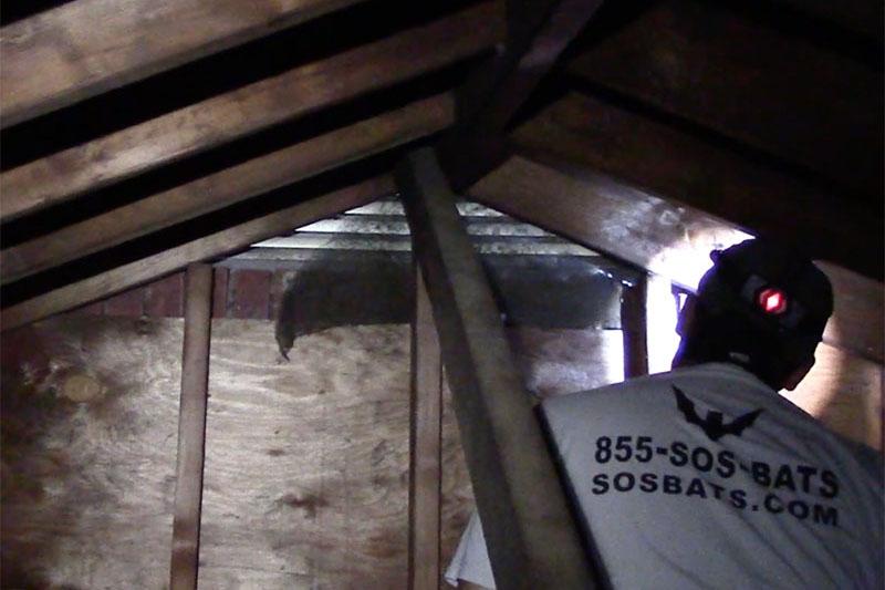 Hudson Valley Wildlife inspects an attic in Albany, NY