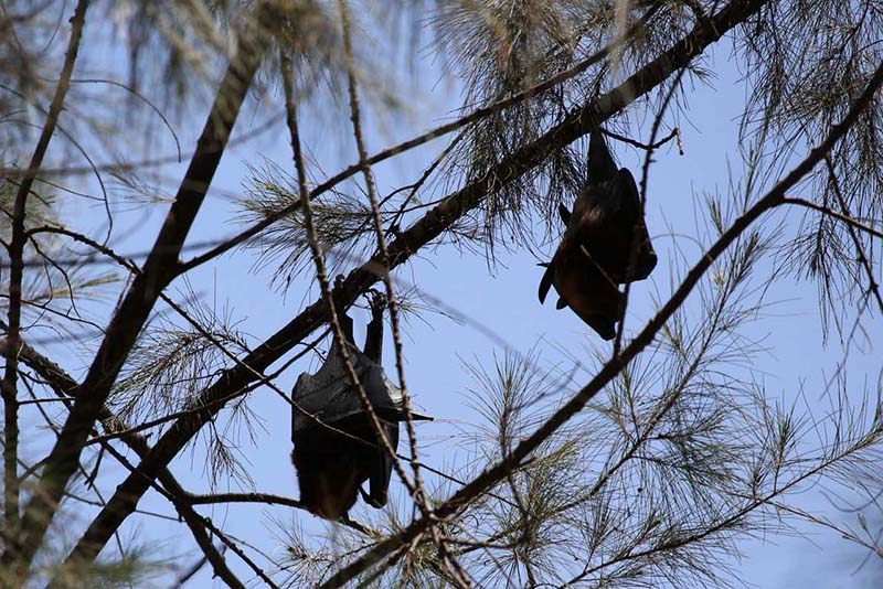 two bats hanging from pine tree branch