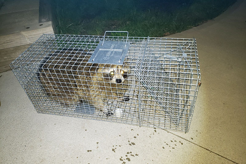 raccoon found in a house in Albany, NY