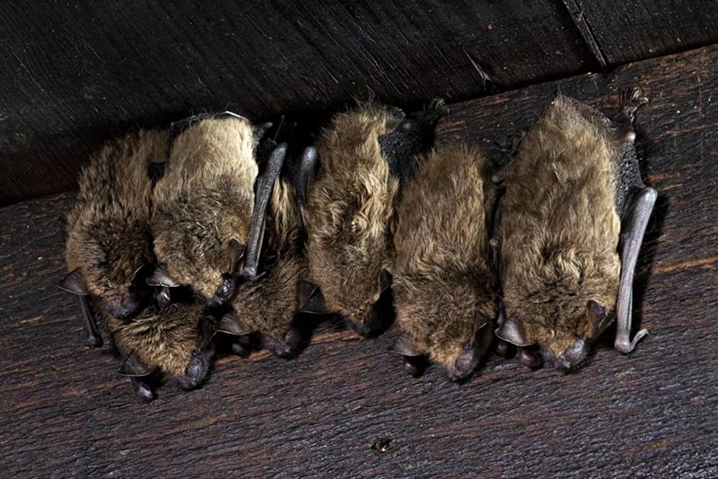 family of bats inside a house in upstate new york